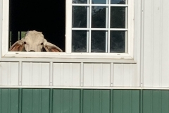 Cow-looking-out-window
