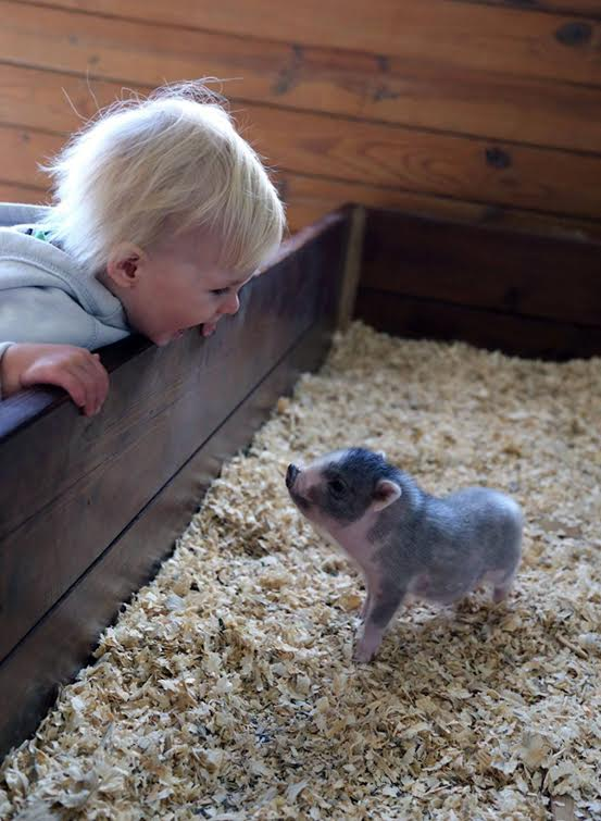 Green Meadows Petting Farm Piglet