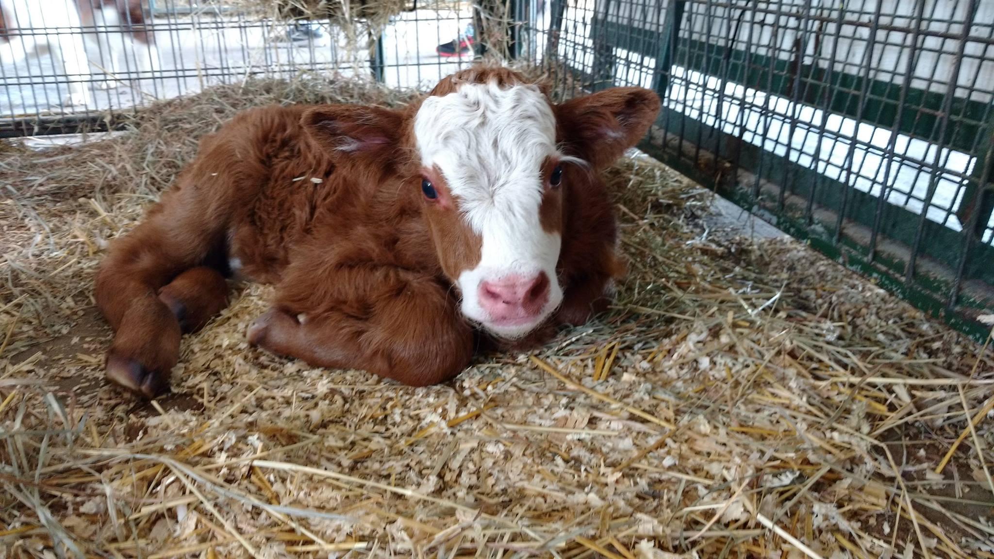 Green Meadows Petting Farm Cow