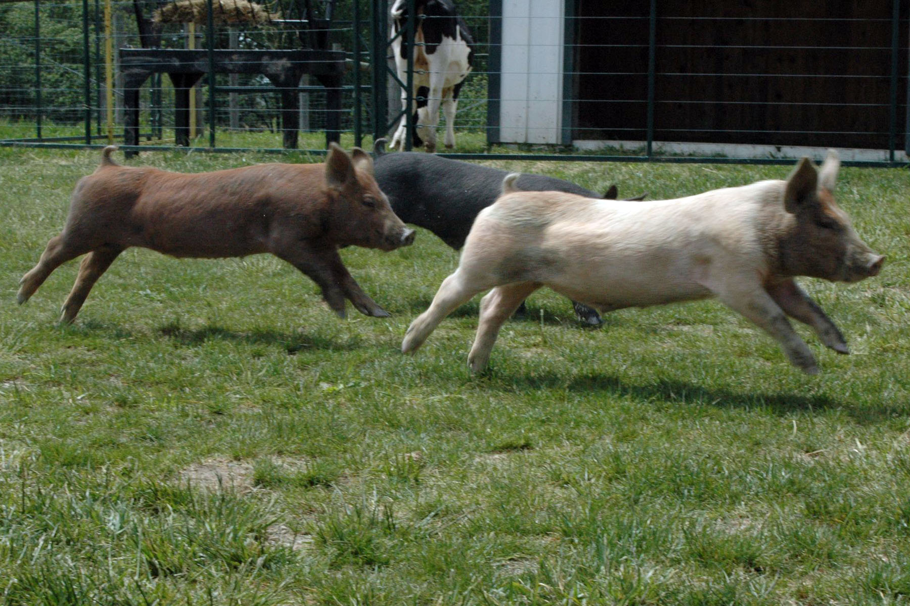 fun pig races