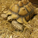 african spur tortoise