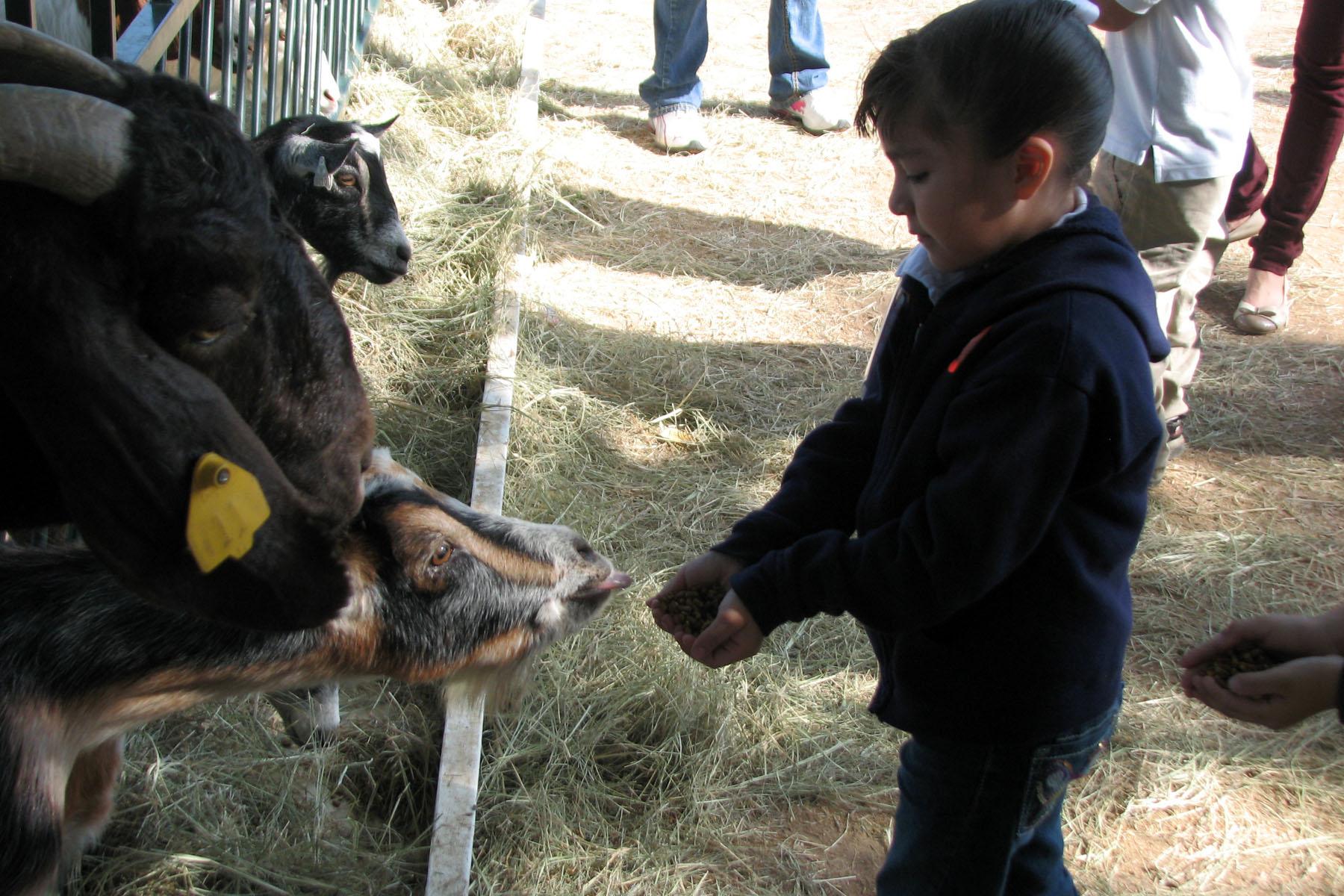 Green Meadows Farm feeding goat